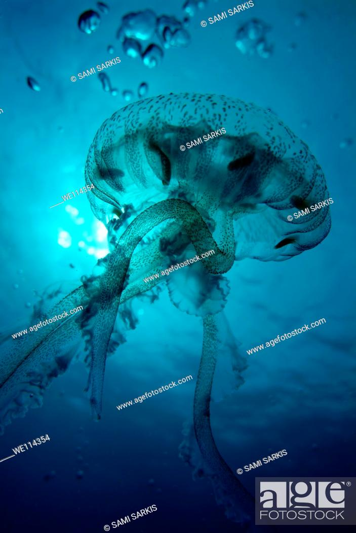Stock Photo: Luminescent Jellyfish Pelagia noctiluca swimming through blue waters, France.