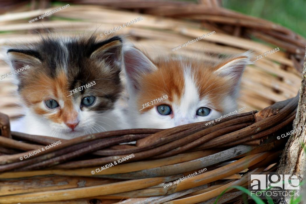 Photo de stock: Two kittens sitting in a basket outdoors and looking at camera.