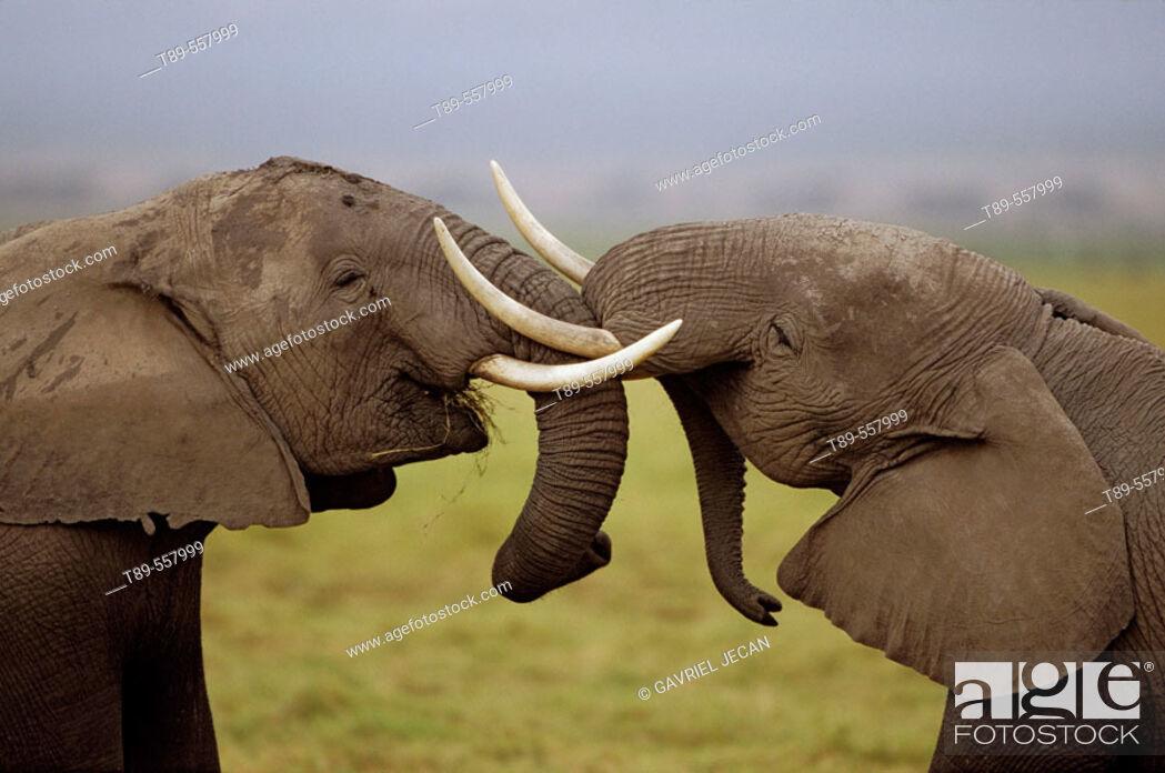 Stock Photo: Africa, Kenya, Amboseli NP, African elephant pair intertwining trunks, (Loxodonta africana).