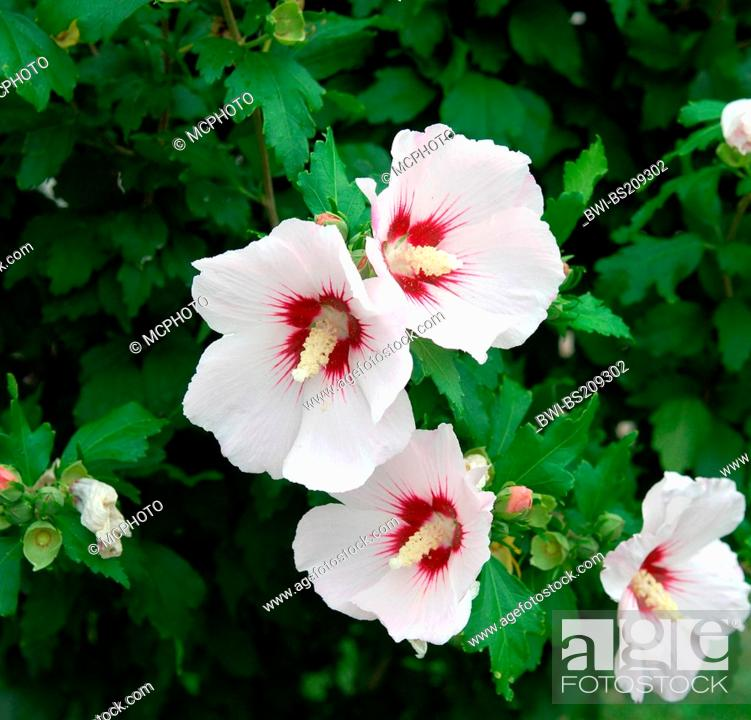 Shrubby Althaea Rose Of Sharon Hibiscus Syriacus Red Heart