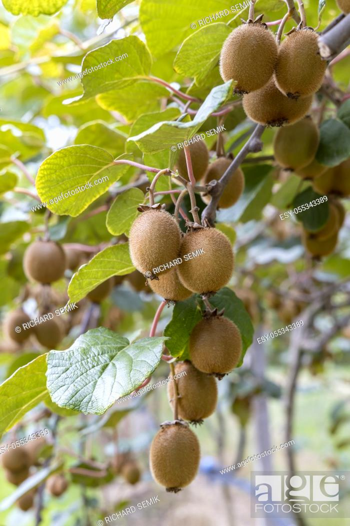 Stock Photo: Orchard with kiwi in Marche, Central Italy.