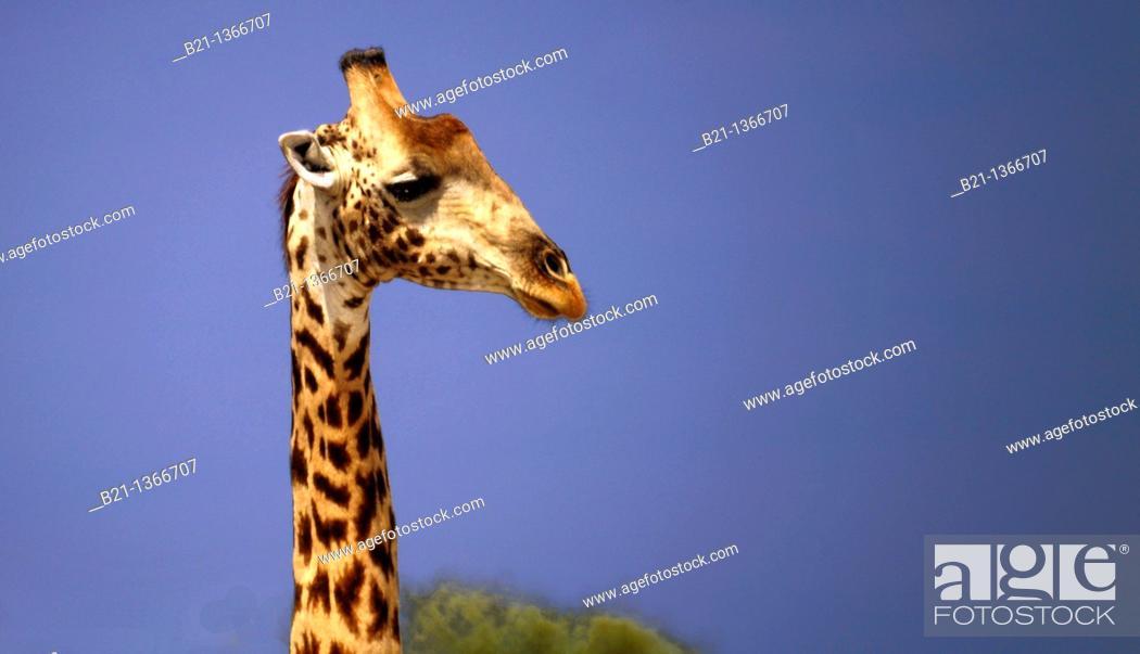 Stock Photo: Giraffe (Giraffa camelopardalis), Moremi Game Reserve, Botswana.