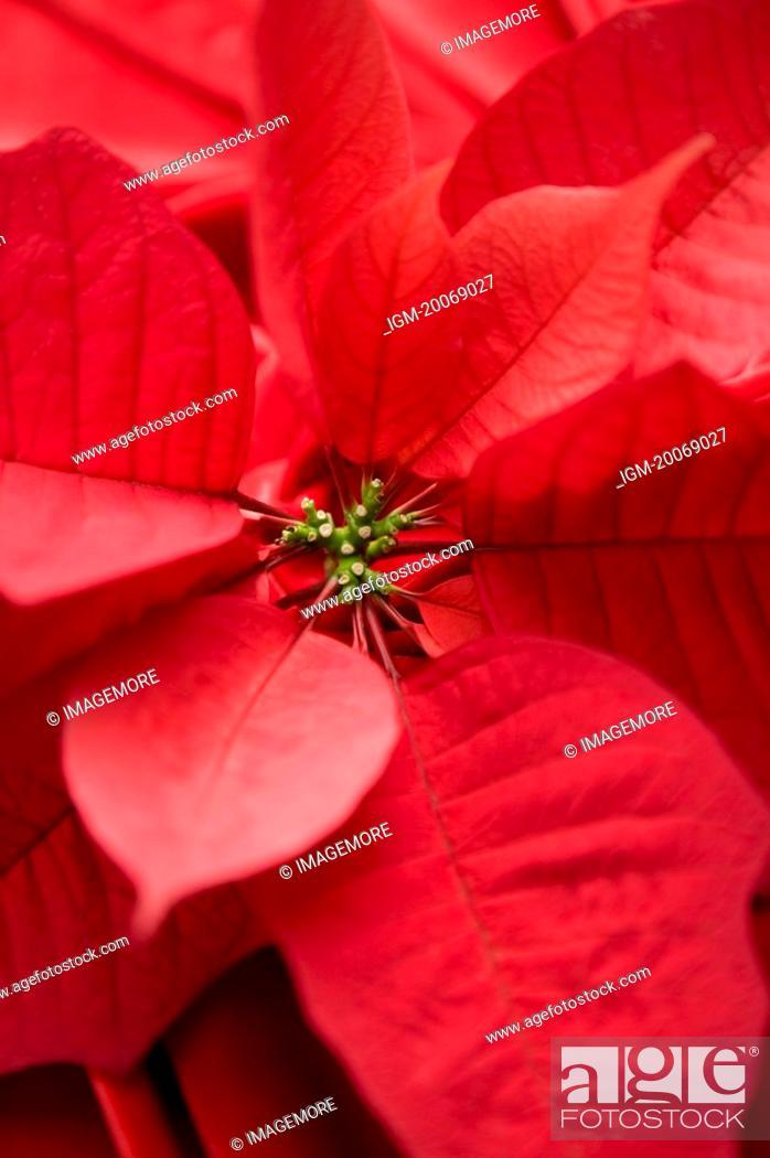 Stock Photo: Close-up of Poinsettia.