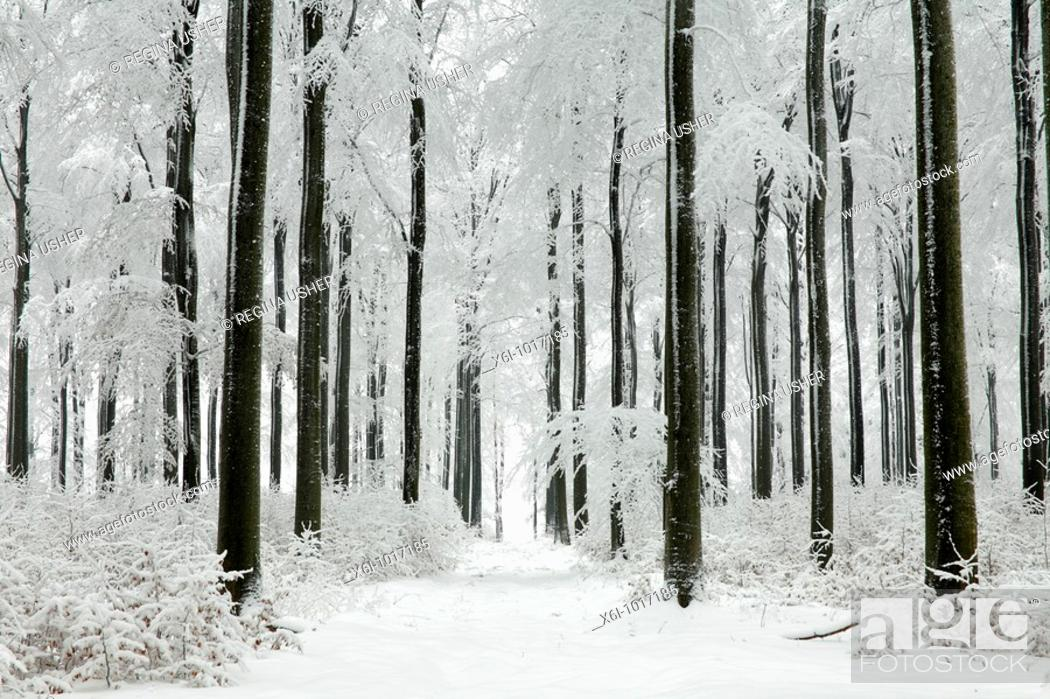 Stock Photo: Beech woodland, Fagus sylvatica, covered in snow, winter, North Hessen, Germany.