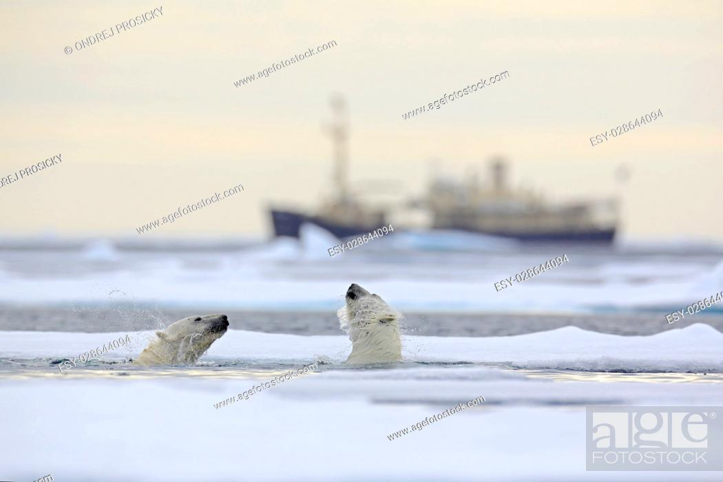 Photo de stock: Fight of polar bears in water between drift ice with snow,.