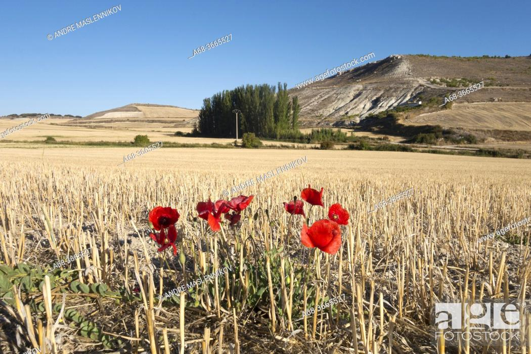 Stock Photo: Poppies by the roadside with arable fields. . Walking the Camino. Pilgrimage route to Santioago de Compostela. The Camino French Way traditionally starts in St.