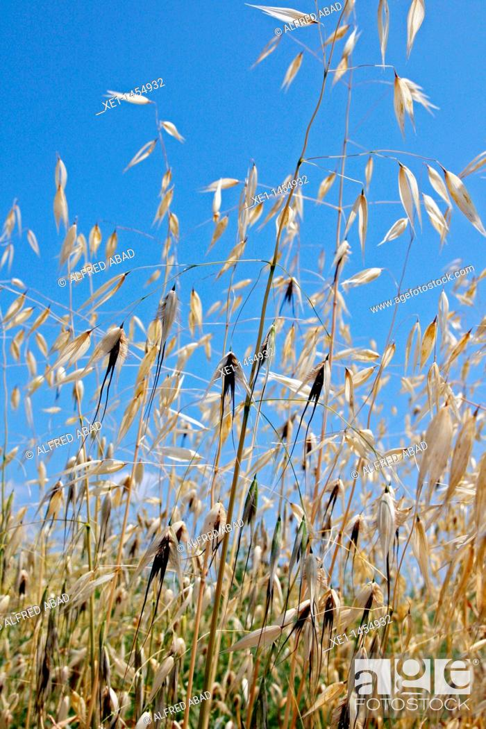 Stock Photo: ears of corn, Bages, Catalonia, Spain.