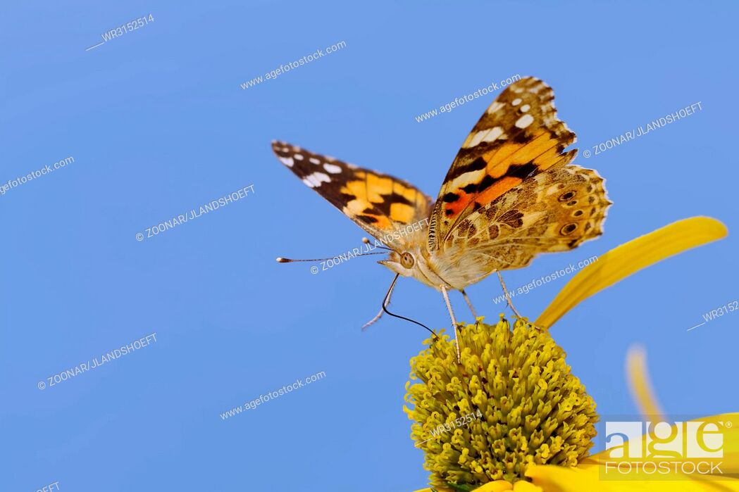 Stock Photo: Painted Lady.