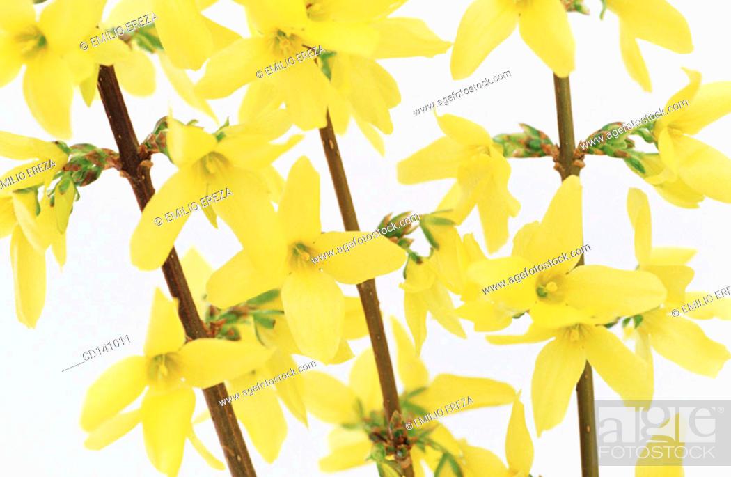 Stock Photo: Forsythia (Forsythia sp.).