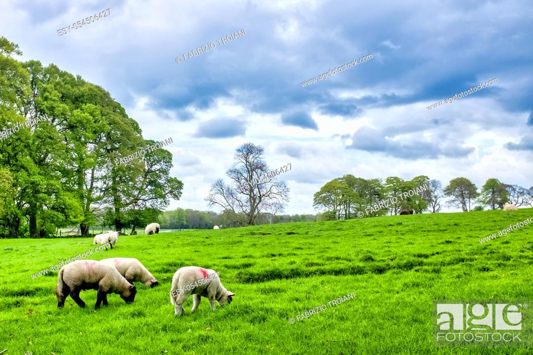 Stock Photo: Galway sheeps (ovis aries) grazing in a field, County Galway, Ireland, .