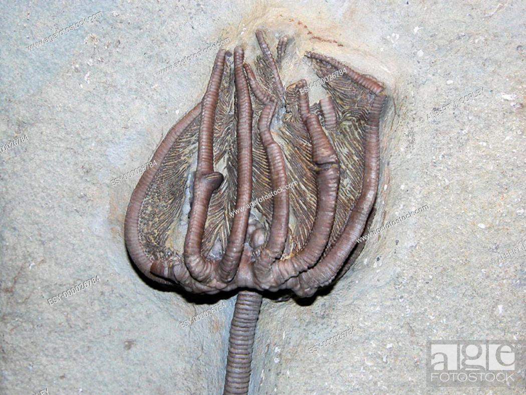 Stock Photo: Crinoid calyx.