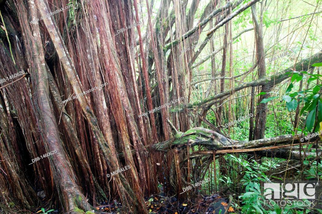 Stock Photo: Banyan or Banian (Ficus benghalensis, fam. Moraceae), tropical forest, Hamakua coast, Big Island, Hawaii, USA.