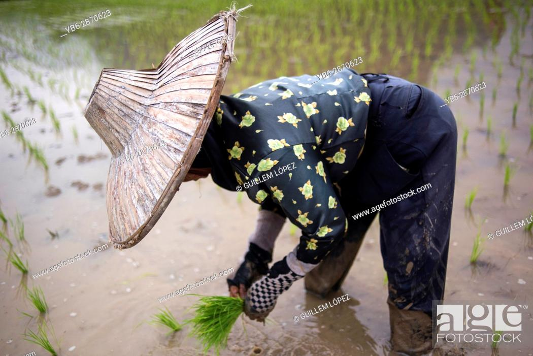 Stock Photo: A woman works in a rice field at the Harau Valley, Sumatra, Indonesia.