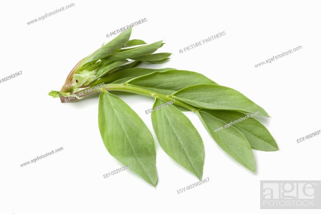 Photo de stock: Fresh broadbean leaves on white background.