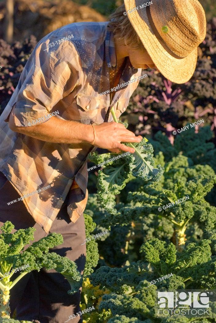 Stock Photo: Young man picking kale and checking for aphids, on small organic farm, Nevada City, California.