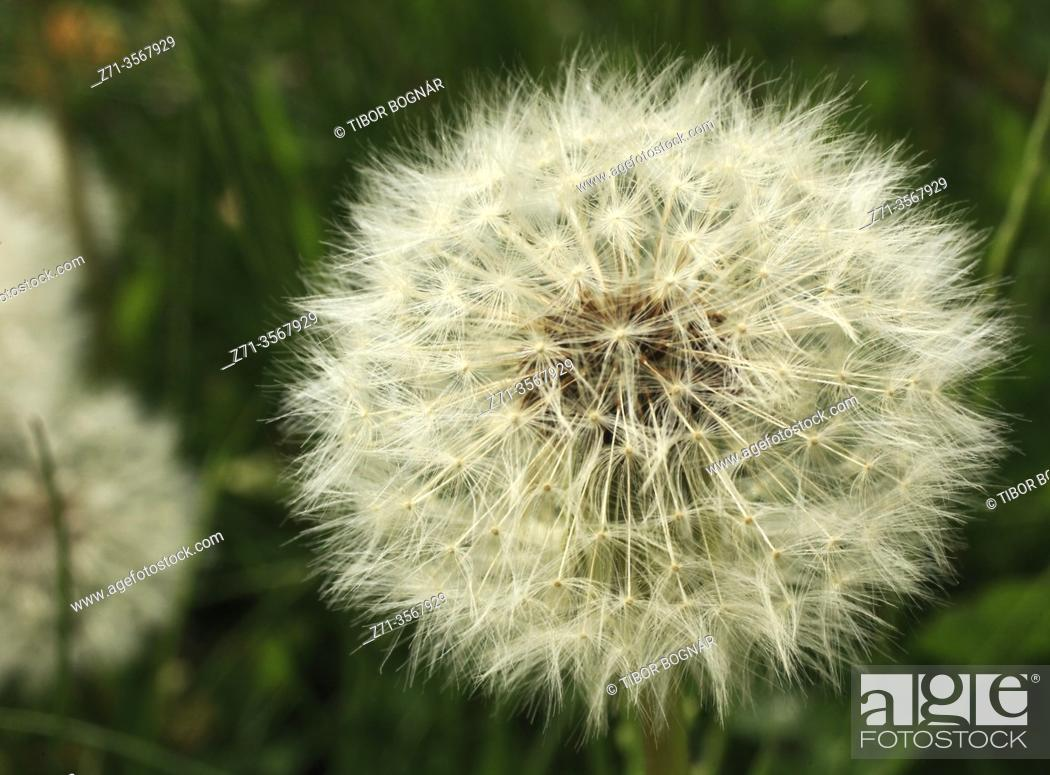 Stock Photo: Dandelion seedhead.