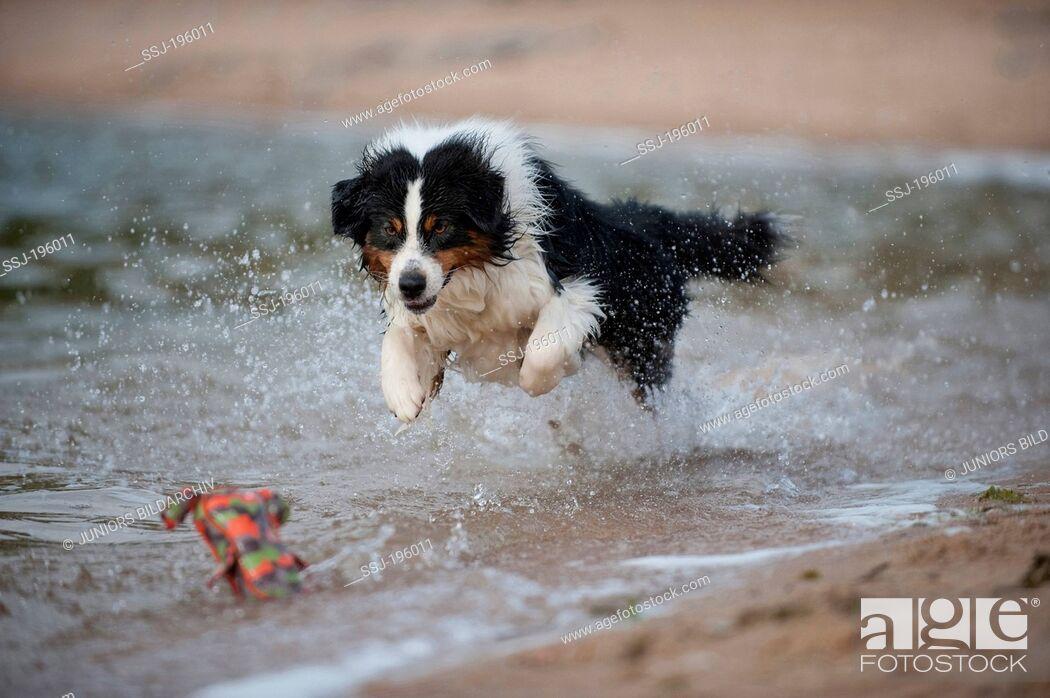 Imagen: Australian Shepherd running through water in order to fetch a toy Germany.