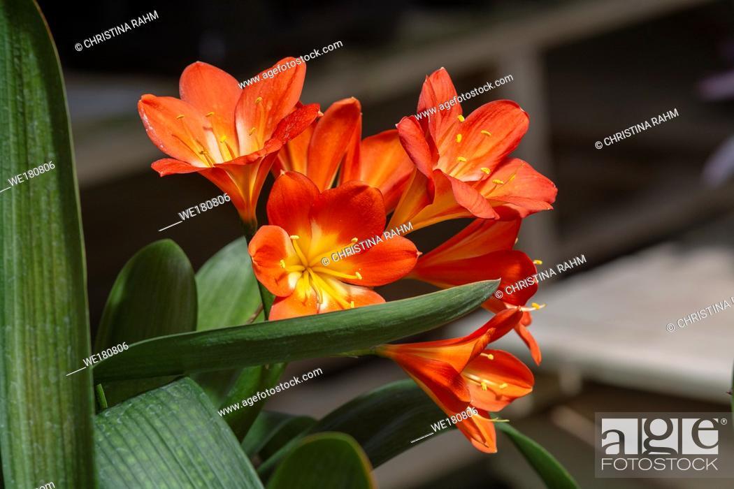 Stock Photo: Orange color clivia flowers closeup macro photo.