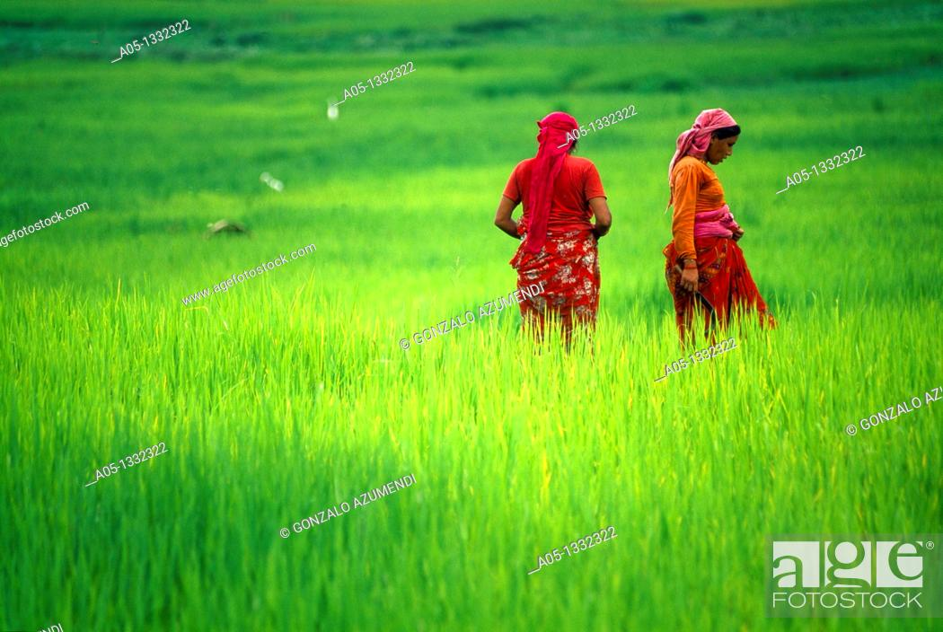 Stock Photo: Rice field  Pokhara valley  Nepal.