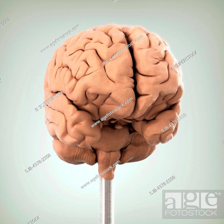 Clay Model Showing The Anatomical Structure Of A Brain Stock Photo
