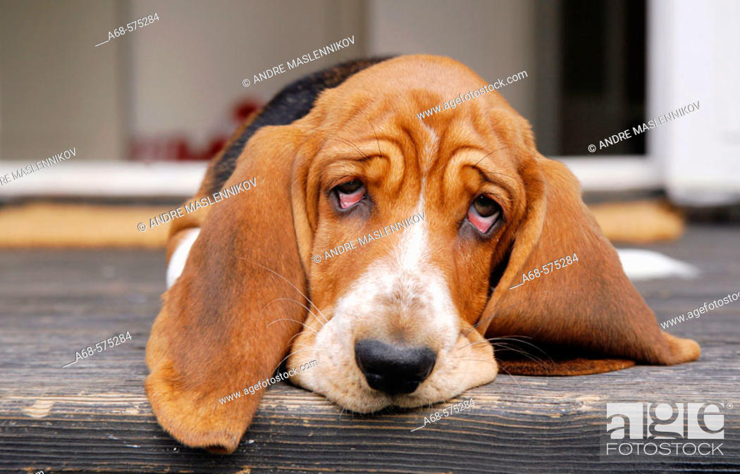 Stock Photo: A Basset pup on the stairs in front of the door.