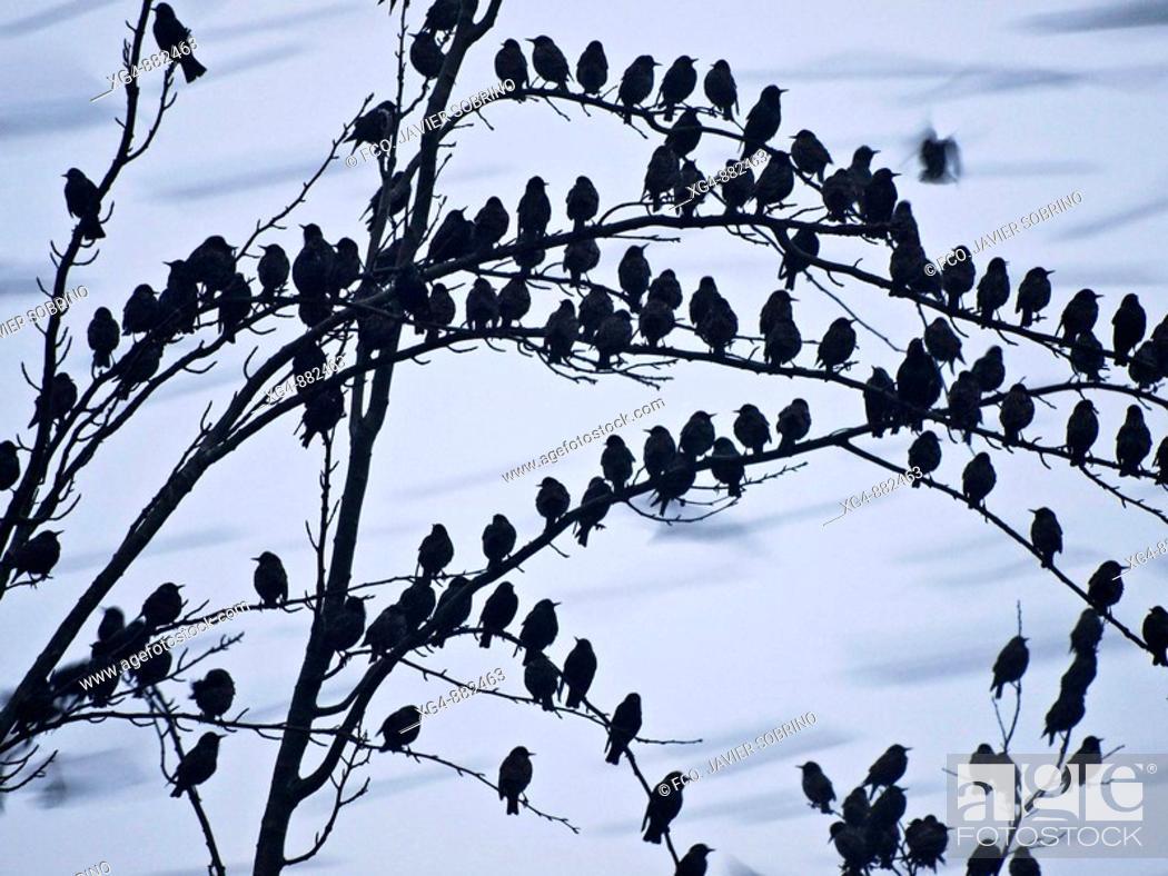 Stock Photo: Flock of starlings (Sturnus vulgaris) perched on a tree in Navarrete - Comarca of Logroño - La Rioja - Spain.