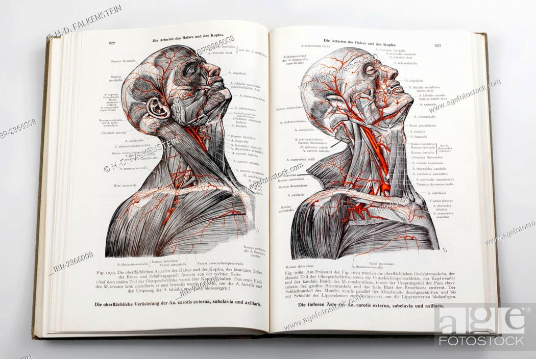 Anatomical woodcut from Stock Photos and Images | age fotostock