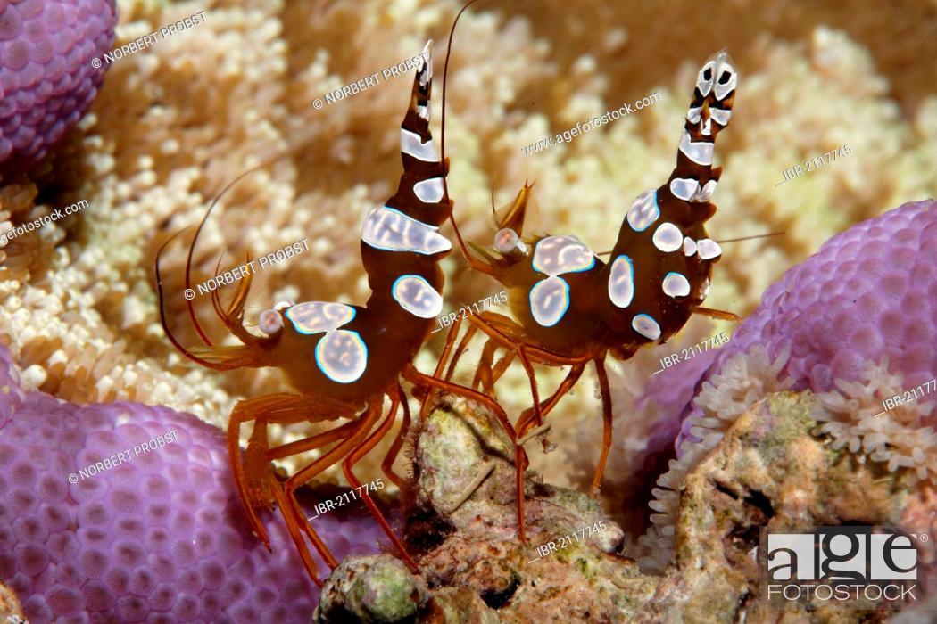 Stock Photo: Two Sexy Shrimps (Thor amboinensis) sitting on Sticky Sucker Anemone (Cryptodendrum adhaesivum), Great Barrier Reef, UNESCO World Heritage Site, Queensland.
