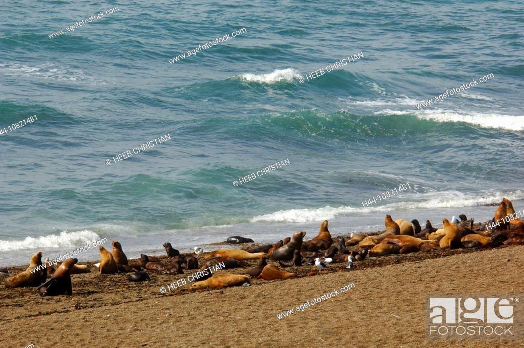 Imagen: South American Sea Lion, Otaria flavescens, Reserva Natural Turistica, reserve, Punta Norte, Peninsula Valdes, Puerto.