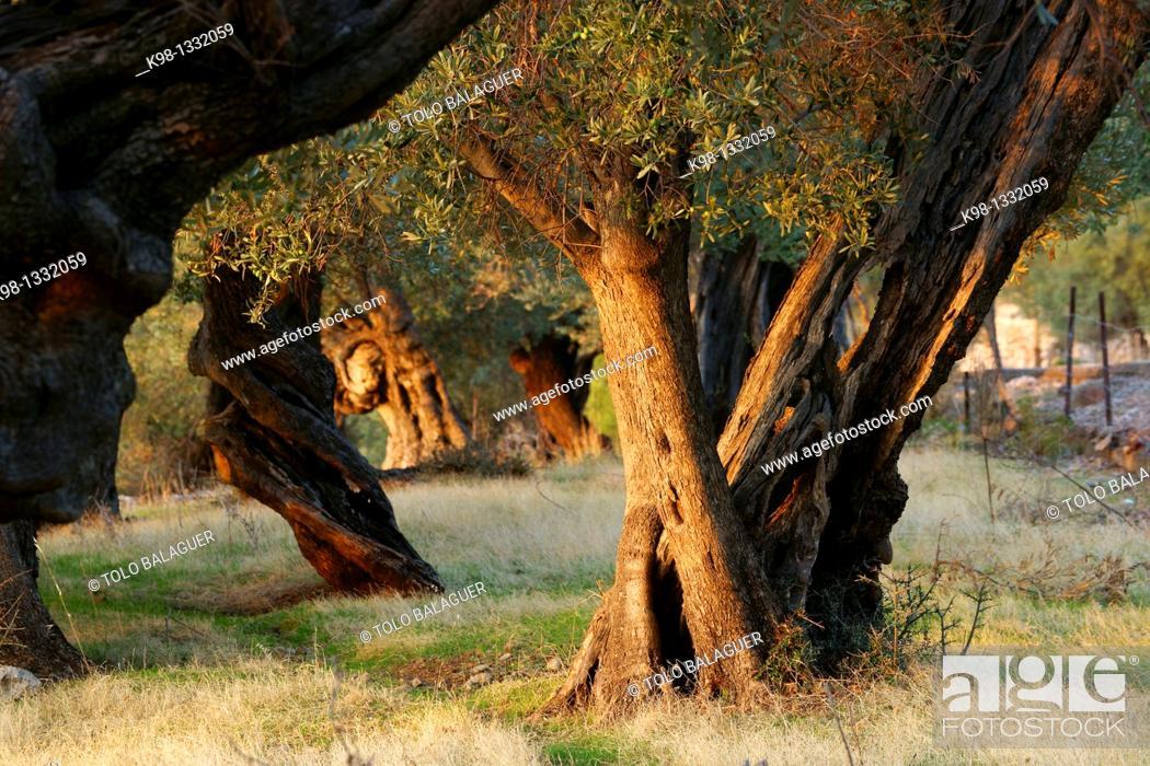 Stock Photo: Olives Deia Mallorca Balearic Islands Spain.