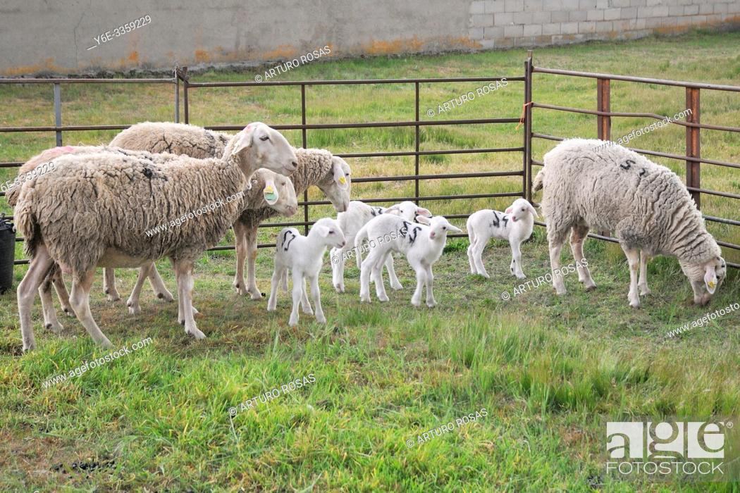Stock Photo: Sheeps and lambs in a little town of the province of Segovia, Spain.