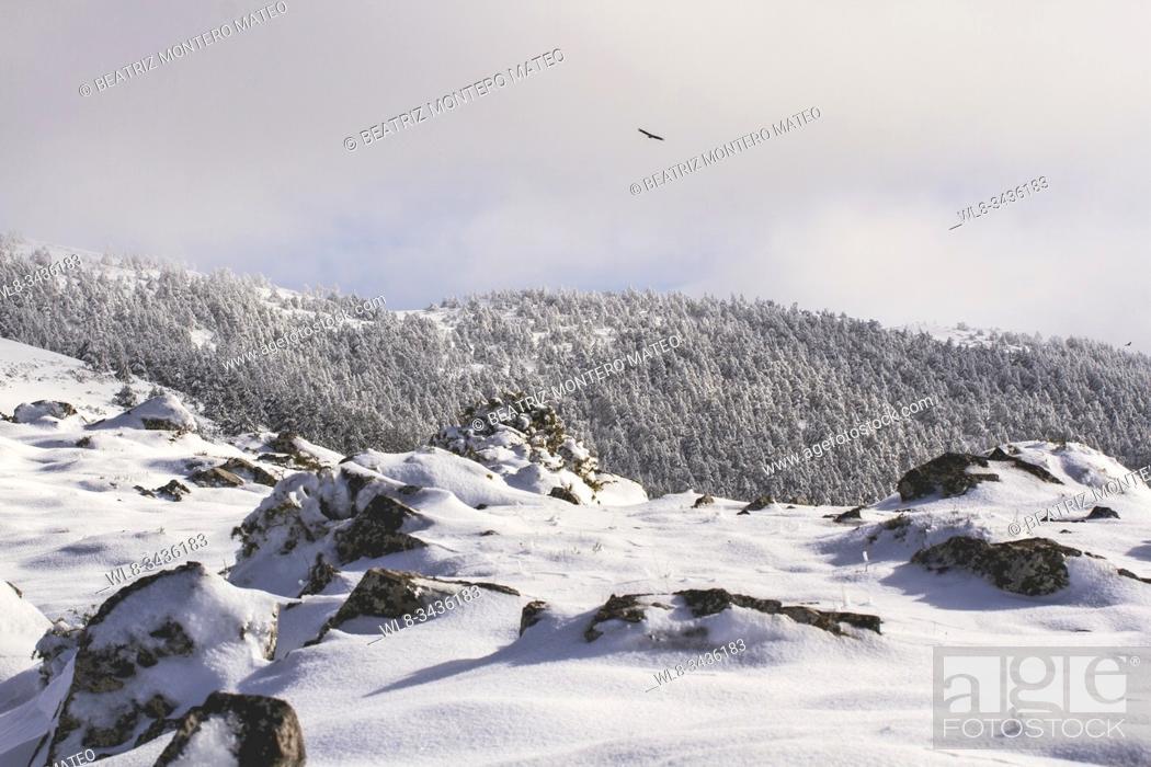 Stock Photo: Vulture flying over a snowy and foggy mountain in Huerta de Arriba, Burgos (Spain).