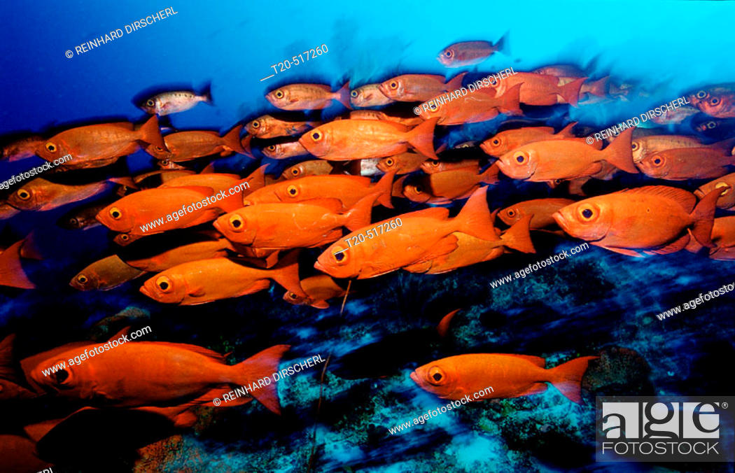 Stock Photo: Crescent-tail bigeye, Priacanthus hamrur, Papua New Guinea, Pacific ocean.