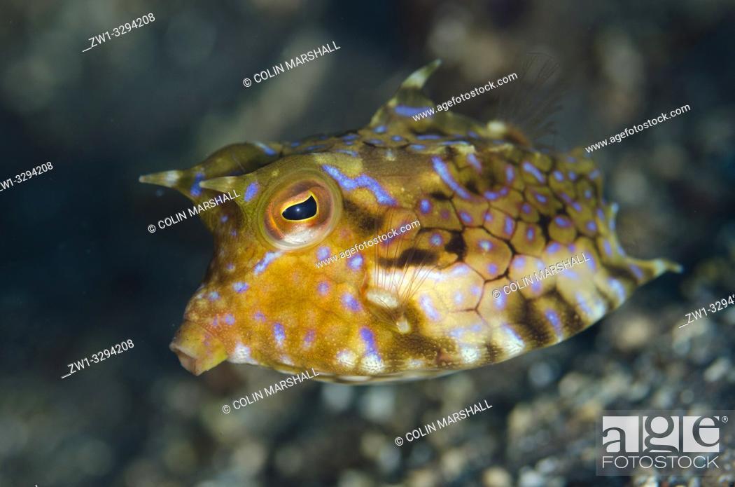 Stock Photo: Thornback Cowfish (Lactoria fornasini), Sedam dive site, Seraya, near Tulamben, Bali, Indonesia.