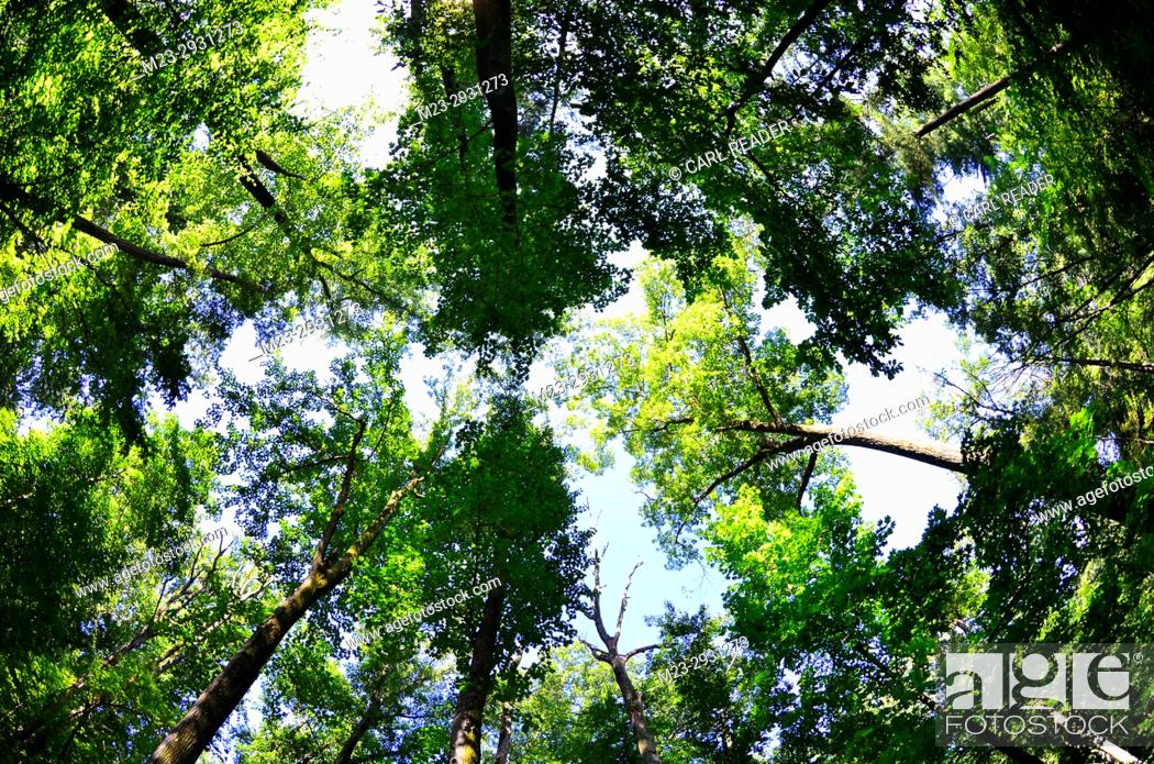 Stock Photo: A forest canopy in a fisheye view, Pennsylvania, USA.