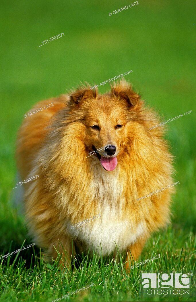 Stock Photo: Shetland Sheepdog, Dog standing on Grass.
