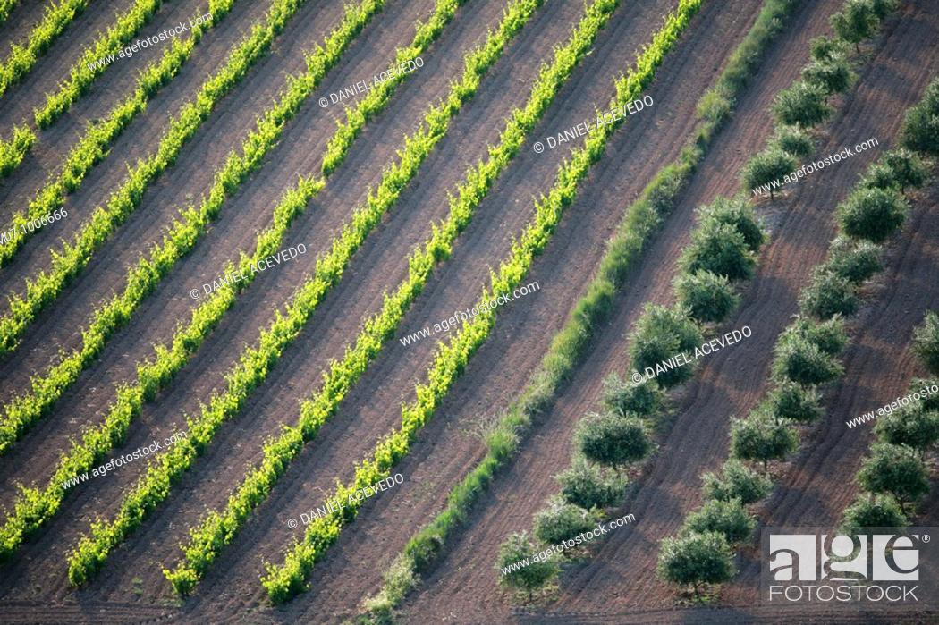 Stock Photo: vineyard and olive grove in summer morning, Rioja wine region, Spain, spain, Europe.