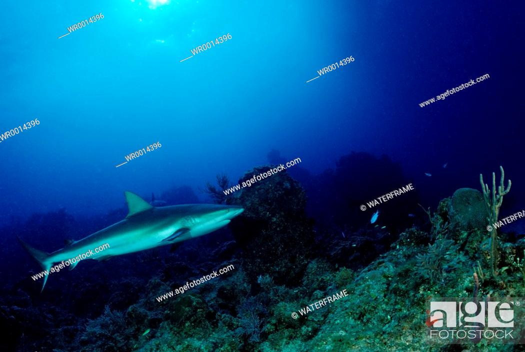 Stock Photo: Caribbean Reef Shark, Carcharhinus perezi, Caribbean Sea, Bahamas.
