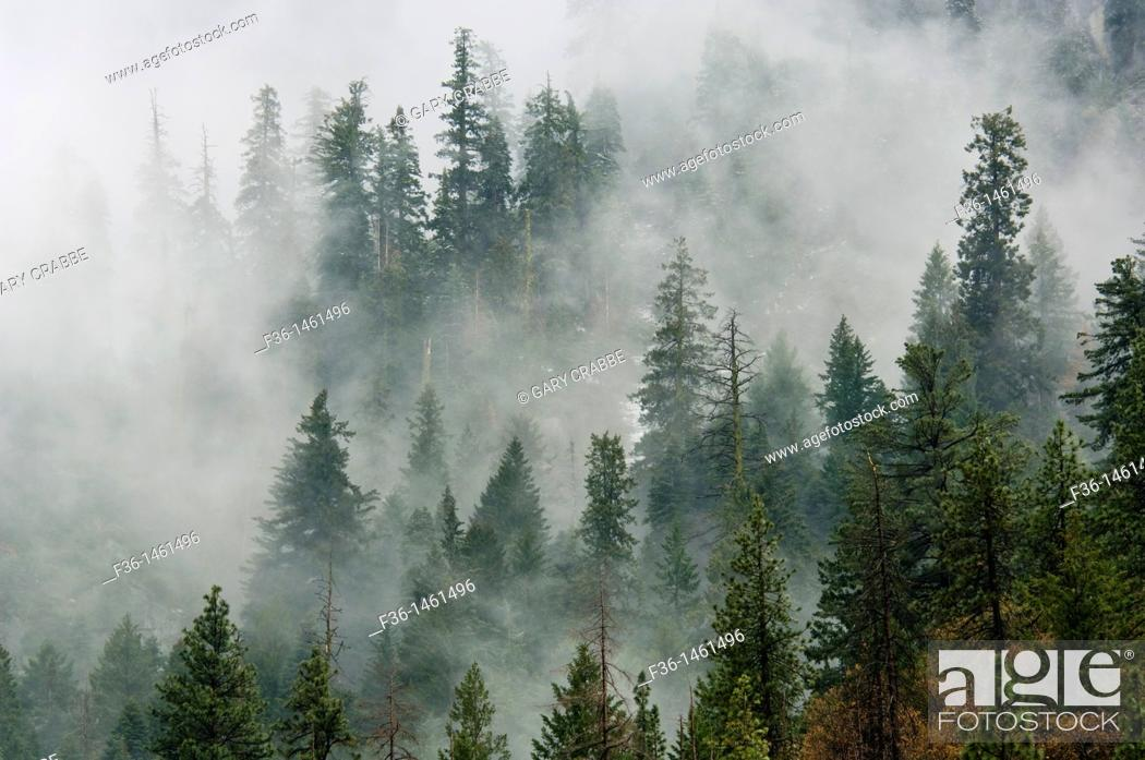 Stock Photo: Pine Trees in clouds,Yosemite National Park, California.