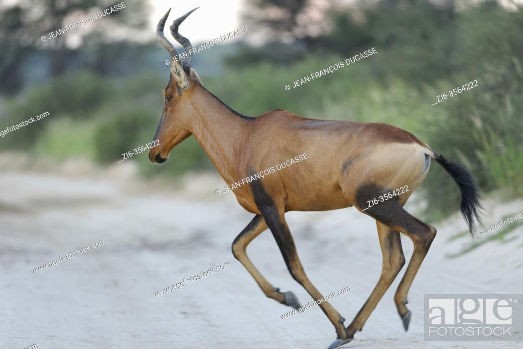 Imagen: Red hartebeest (Alcelaphus buselaphus caama), adult, running across a dirt road, close of day, Kgalagadi Transfrontier Park, Northern Cape, South Africa, Africa.