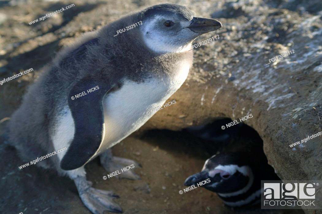 Stock Photo: A Magellanic penguin chick, Sheniscus magellanicus, in Patagonia.