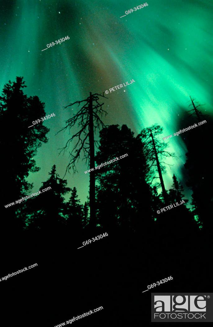 Stock Photo: Northern lights in forest. Brannliden, Västerbotten, Sweden.