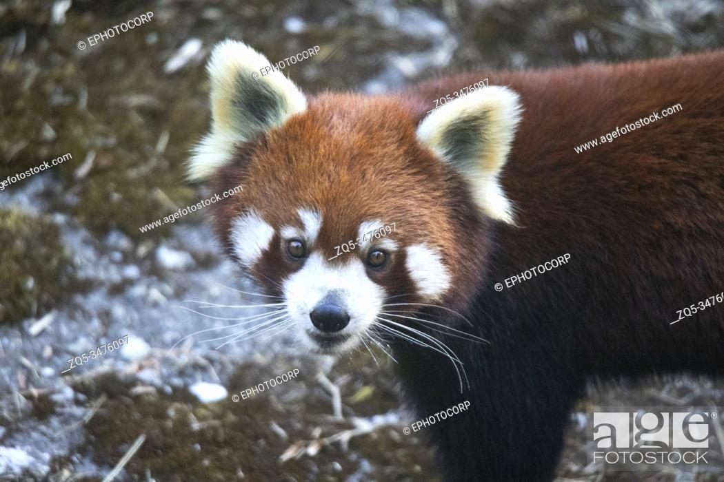 Imagen: Red panda, Ailurus fulgens, Sikkim, India.