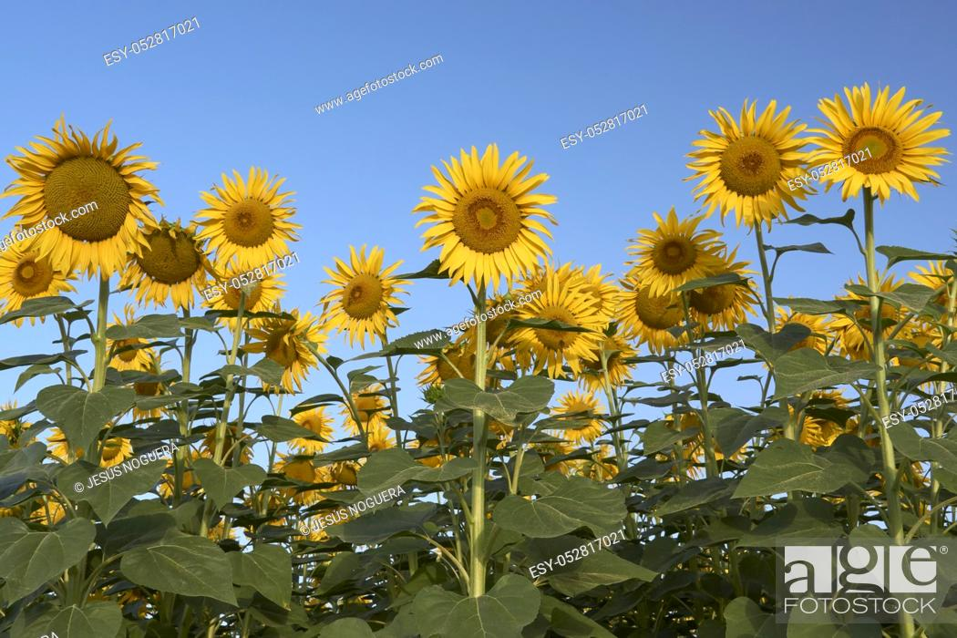Stock Photo: Field of sunflowers in Malaga, Andalusia. Spain.