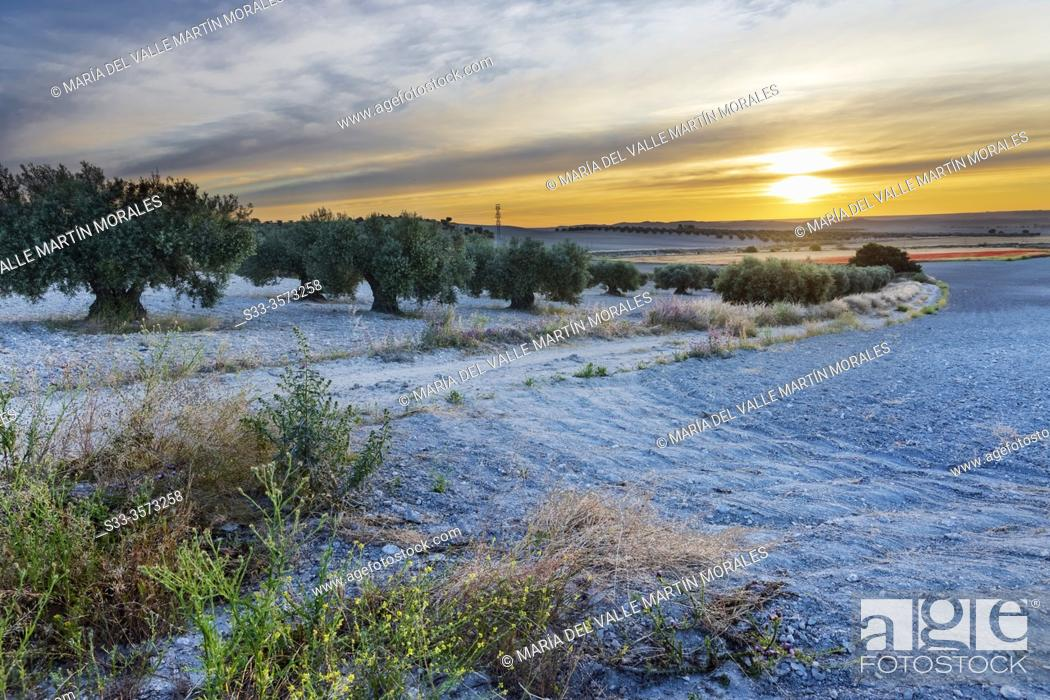 Stock Photo: Sunrise and olive tress on the pathway. Pinto. Madrid. Spain. Europe.