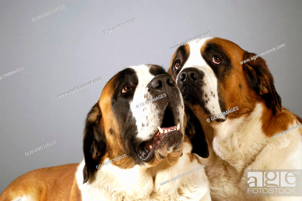 Stock Photo: Close-up of two St. Bernard dogs looking up.