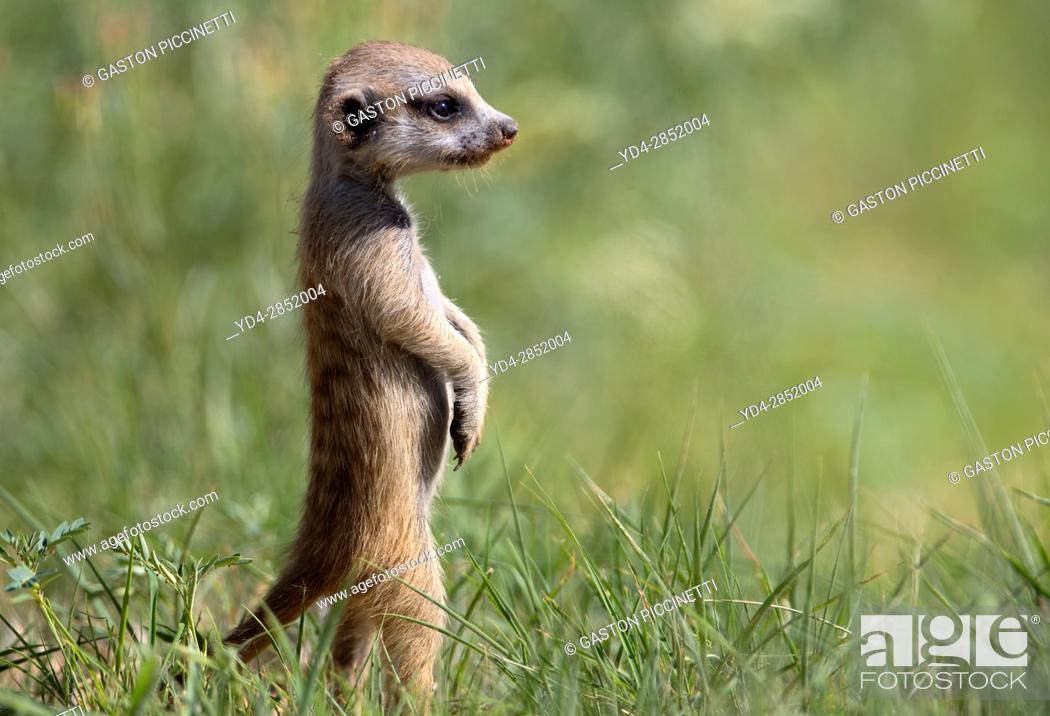 Stock Photo: Suricate (Suricata suricatta) - Young, Kgalagadi Transfrontier Park, Kalahari desert, South Africa/Botswana.