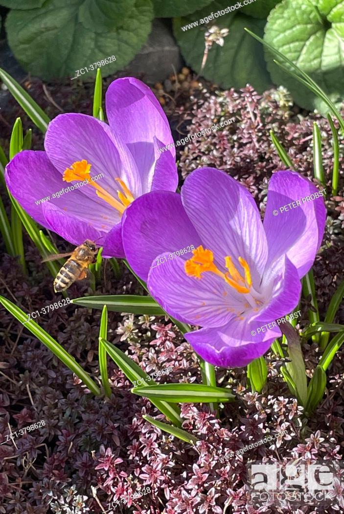 Stock Photo: Blooming crocuses in a garden in Berlin - Germany.
