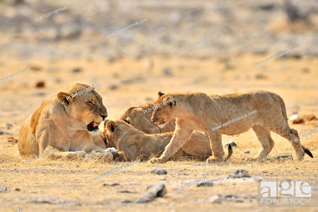 Stock Photo: African lioness Panthera leo with cubs, Etosha National Park, Namibia.