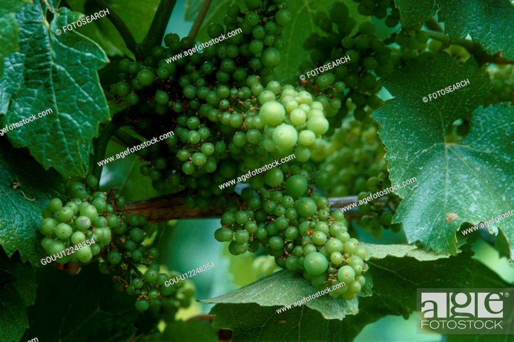 Stock Photo: Muscat Grapes On Vine.